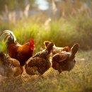 Rota Act for Food: qual a diferença entre frango caipira e o convencional?