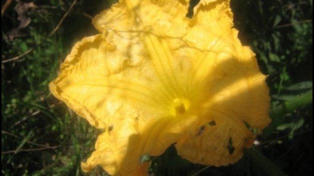Pastanicas mornas com flores de abóboras